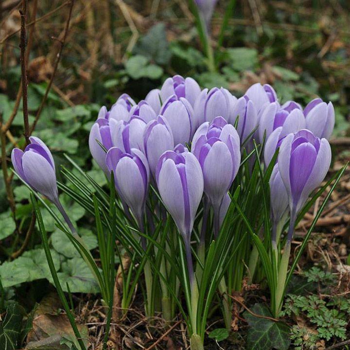 17 Best Images About Krokusse (crocus) On Pinterest | Gardens ... Hinweise Krokus Pflanzen Rasen Blumentopf