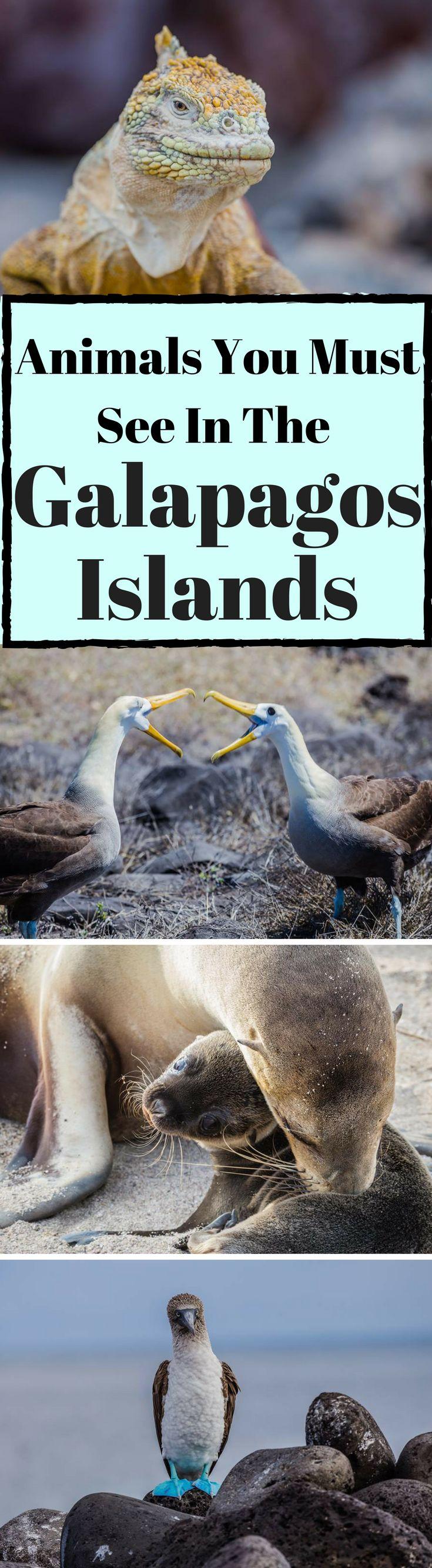 Animals you must see in the Galapagos Islands. The Galapagos Islandsare celebrated throughout the world for their unique natural wonders and the rare and intriguing wildlifethat played such an important role in Darwin's theories of Evolution & Natural Selection. The wildlife that amazed, Click to read Unique Galapagos Islands Animals You Must See by America's Adventure Couple the Divergent Travelers Adventure Travel Blog. #Galapagos #Islands #Travel
