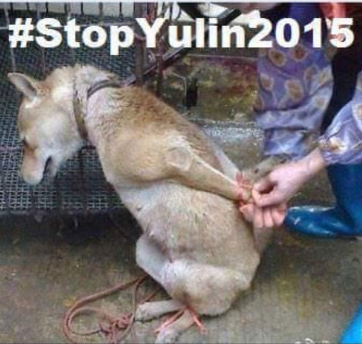 How To Stop Yulin Dog Meat Festival