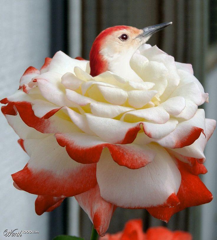 Rosy nest - Worth1000 Contests