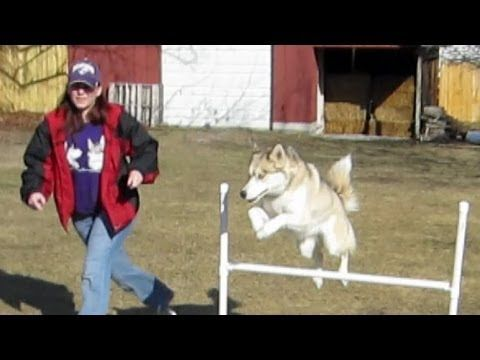 How To Make Dog Agility Jumps For Practice   Build Your Own Equipment    Siberian Husky