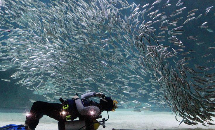 Seorang penyelam beraksi bersama sarden sebagai bagian dari acara liburan musim panas di Coex Aquarium di Seoul, Korea Selatan.