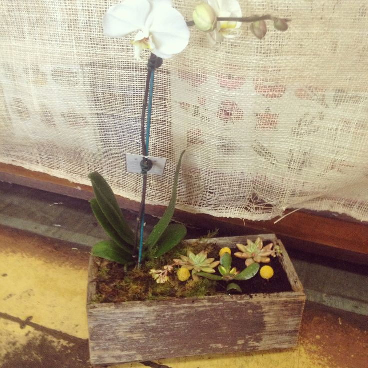 Phalenopsis Orchid with Succulents and Billy Buttons