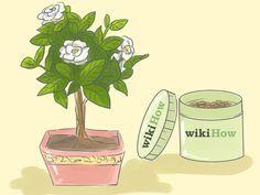 La gardenia (Gardenia jasminoides), también conocida como jazmín de Cabo, es un arbusto de hojas aromáticas con flores de un blanco puro y un follaje de verde brillante a primera vista. Las gardenias tienen la reputación de ser difíciles de...