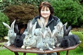 Image result for continental giant rabbit