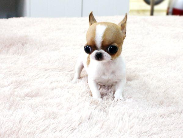 Apple Head Chihuahua Teacup