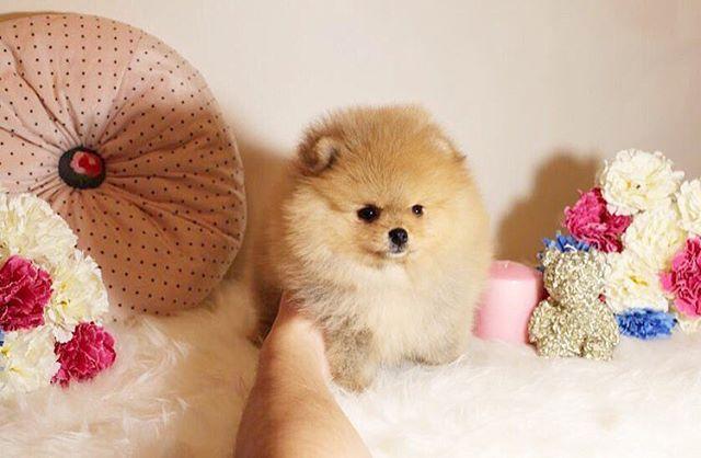Самый пушистый мальчик на продажу. For sale boy fluffy #шпиц#шпицы#пом#померанский#померанскийшпиц#pom#poms#pomeranian#micropom#teacuppuppy#микрощенки#teacuppomeranian#pom#ю#instapom#instagram#pups#puppy#micropom#spitz#boo#pomeranianspitz#petstagram#pomeranianpage#pomeranians#pompuppy#forsalepom#tsum#gum#pomeranianworld#instadog#instapuppy.
