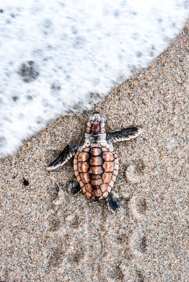 Loggerhead hatchlings can emerge from their nests in a variety of different colors.  I've seen plenty of black, brown, white and tan hatchlings but this particular turtle was born with a vibrant orange color that I had never seen before.  Lucky for me, the sand was soft enough for the turtle to leave its tracks as it hustled to the ocean to make the photos composition more interesting.  I was able to capture the moment just before a wave surged in and welcomed the vibrant beauty to the sea.
