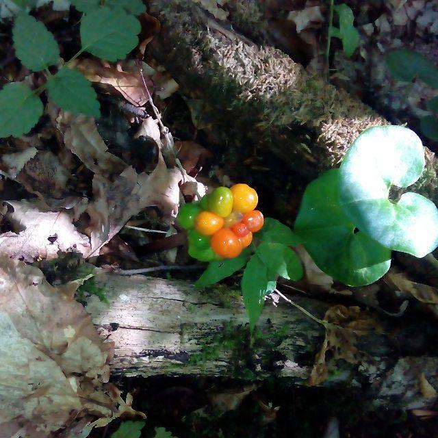 Ароник - многолетнее травянистое растение. Листья стоят зелеными весь холодный период с декабря по март, затем происходит цветение. После опыления листья отмирают и летом, осенью растение стоит с голым стеблем и ярко оранжевыми плодами. Плоды ядовиты, могут вызвать удушье при употреблении.  #аронник #ароник #кавказ #оранжевый #сочи #необычный #яд #трава #плоды#порирода #nature #aron #arona #yard {{AutoHashTags}}