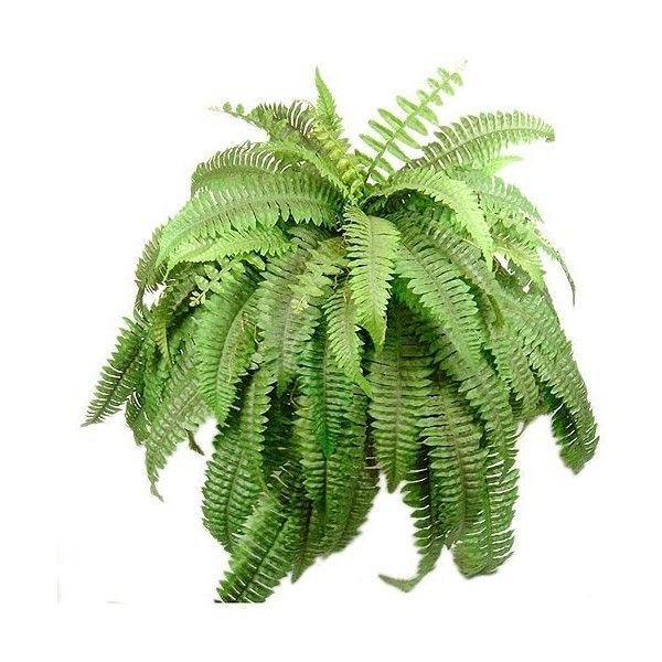Artificial Flowers 67 Leaves Realistic Boston Fern Bush Silk Plant... (185 BRL) ❤ liked on Polyvore featuring home, home decor, floral decor, plants, flowers, filler, greenery, backgrounds, artificial flower bouquets and silk flowers