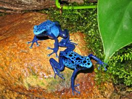 Dendrobates azureus is a type of poison dart frog found in the forests surrounded by the Sipaliwini savannah, which is located in southern Suriname  and Brazil