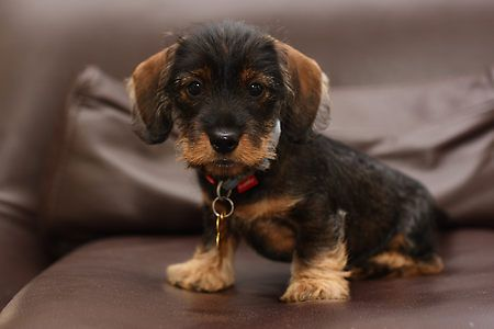 Another Wire-haired Dachshund puppy.  When I get one, it'll be a little boy named Strauss.