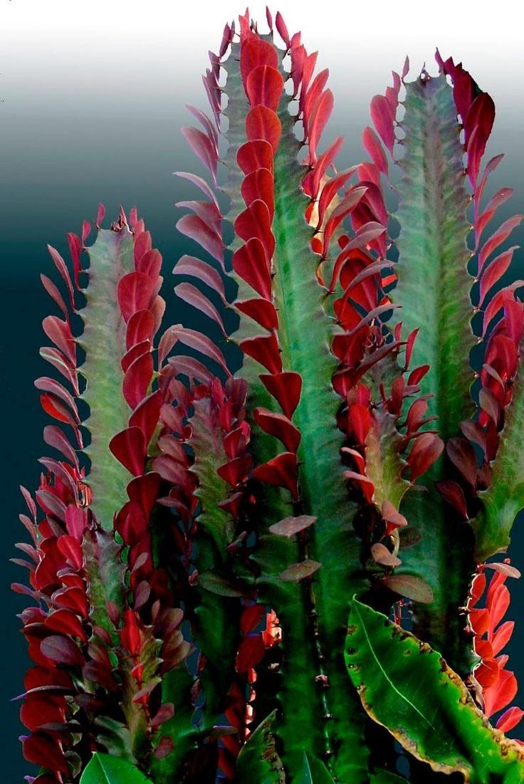 best succulent varieties images on pinterest succulents