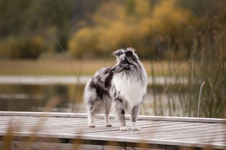 It's strange how someone can just walk into your life with a wagging tail and make you realize what true fiendship is. .  .  .  #sheltiepage #sheltiesofinstagram #sheltie #mountains #norway #teamcanon #biblue #canon #tamron #dogsofinstagram #fall #autumn