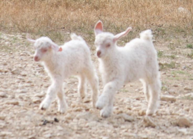 Baby angora goats