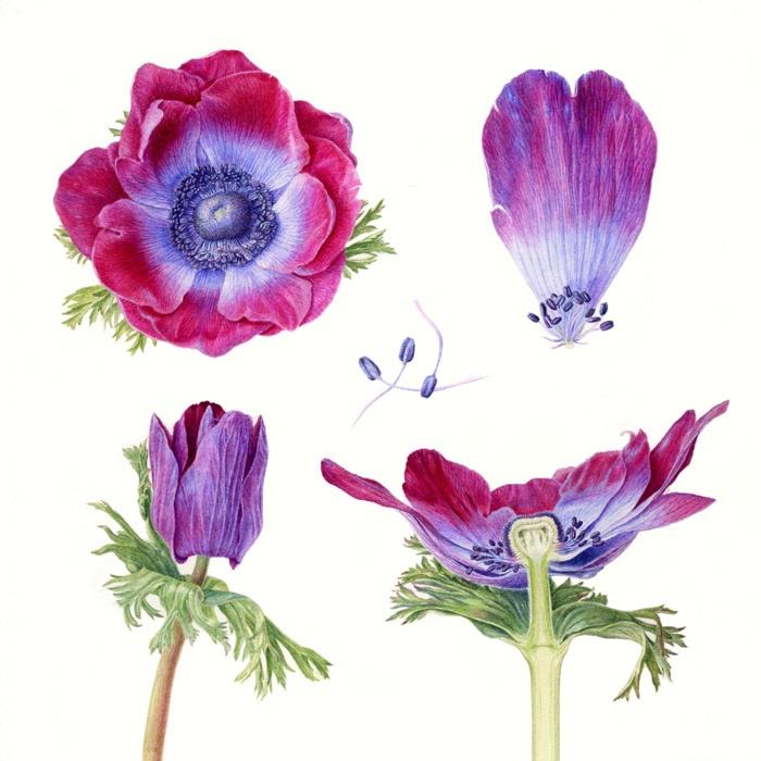 Folio - Illustration Agency   Carolyn Jenkins - Watercolour - Painterly - Botanical - Horticultural - Photorealism illustrator   Anemone