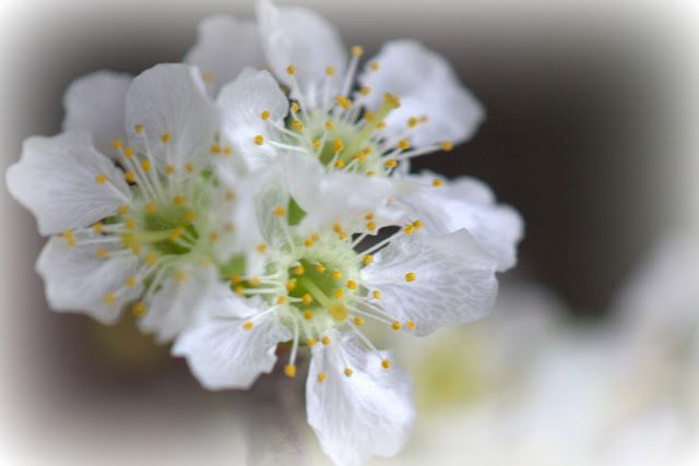 Flowers Appelbloesem