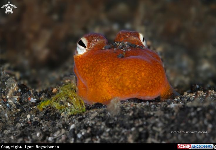 Tropical bottletail squid  in Lembeh - Indonesia
