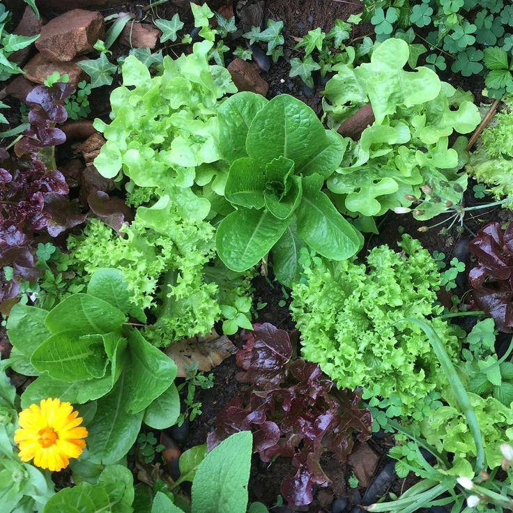 #permaculturegarden #foodgarden #nodig #foodforest #lettuce #calendula #chives and some #ivy