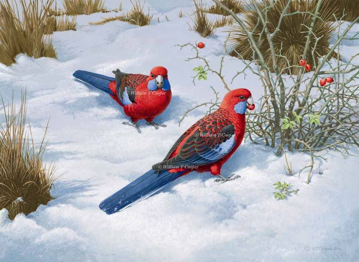 william t cooper artist | The red and blue of Crimson Rosellas against the white and blue of the ...