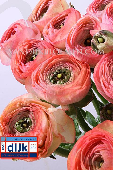 Ranunculus clooney salmon wedding pinterest colors