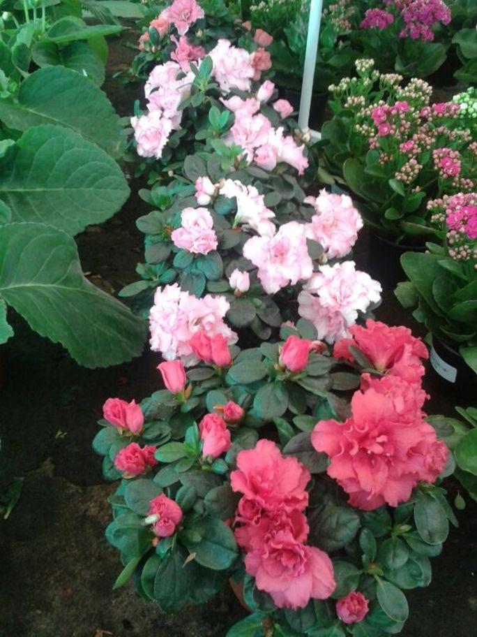 Azalea. Aunque de Exterior, con los Calores de Canarias, mejor cultivarla al fresco en interiores. Su colorido es perfecto para decorar en casa. Su Floración es mas bien de Invierno, hasta finales de Primavera. Necesita riegos frecuentes y poco alcalinos, suelos ácidos. Curiosamente, en macetas pequeñas, florece mejor.