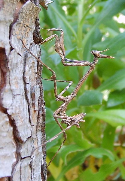 """""""Conehead Mantis; (Eumpusa pennata);.a species of Empusid mantid which is known to occur in Spain, parts of Portugal, France, Lebanon, Greece, and Central and Southern Italy. Conehead mantids get their common name from the appendage which protrudes out of their heads as adults."""