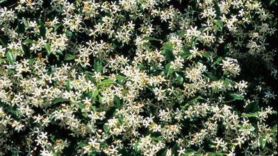 Trachelospermum jasminoides: Gardens Ideas, Jasmine Creepers, Jasmine Plants, Stars Jasmine, Climbers Flowers, Chine Stars, Hawaiian Gardens, Trachelospermum Jasminoides, Climbers Gardens