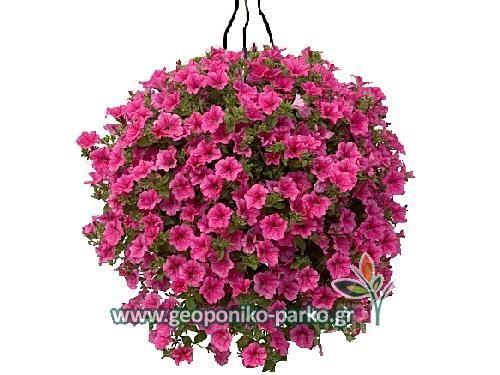 Ανθόφυτα - Εποχιακά - Αρωματικά Φυτά : Σερφίνια κρεμαστή - Φυτά σερφίνιας   Surfinia petunia