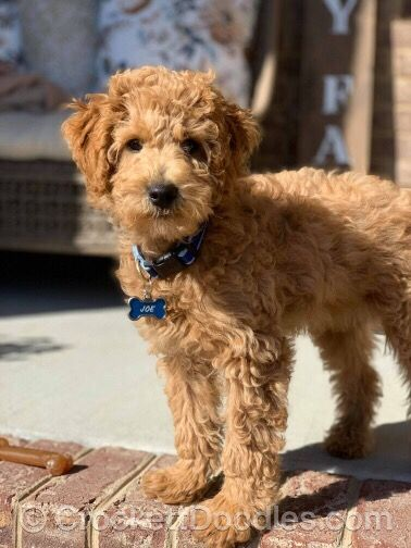 Sweet mini Goldendoodle from Crockett Doodles | one day I'll