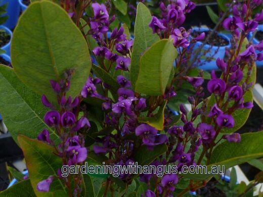 winter flowering shrub hardenbergia.  For secret garden hedge.
