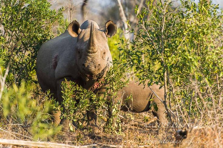 Black Rhino by Conservation Photographer Peter Chadwick