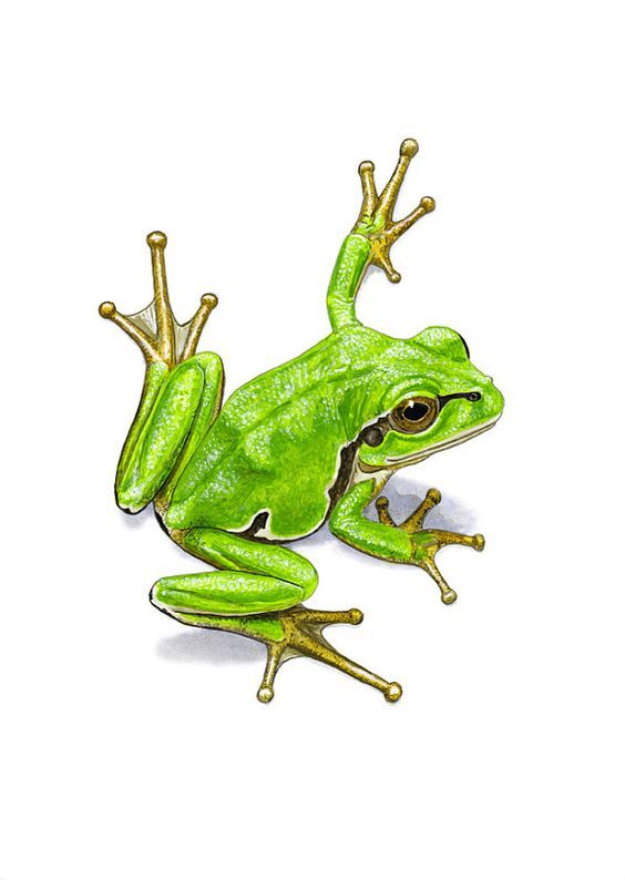 8 best Frogs images on Pinterest | Frogs, Water colors and ...