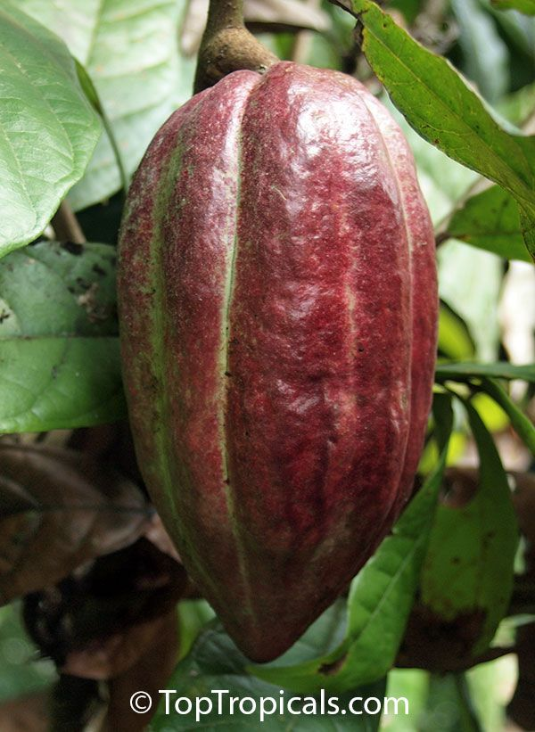 chocolate and the cacao plant essay Cacao plants are at risk of disappearing over half of the world's chocolate now comes from just two countries in west africa— côte d told business insider.