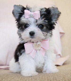 17 Best ideas about Teacup Puppies on Pinterest | Teacup ...