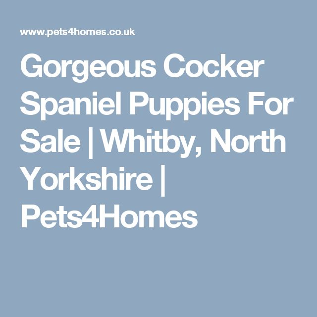 Gorgeous Cocker Spaniel Puppies For Sale | Whitby, North Yorkshire | Pets4Homes