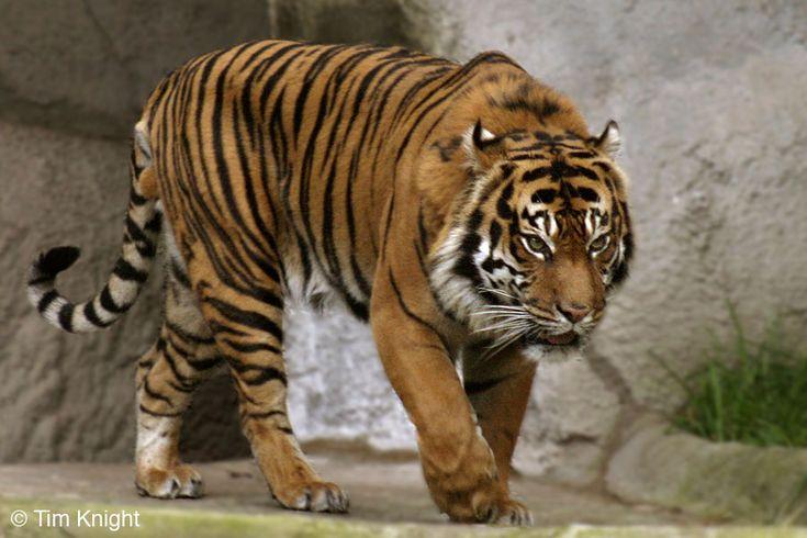 Sumatran Tiger | Sumatran Tigers are smaller than the other 5 Tiger species.