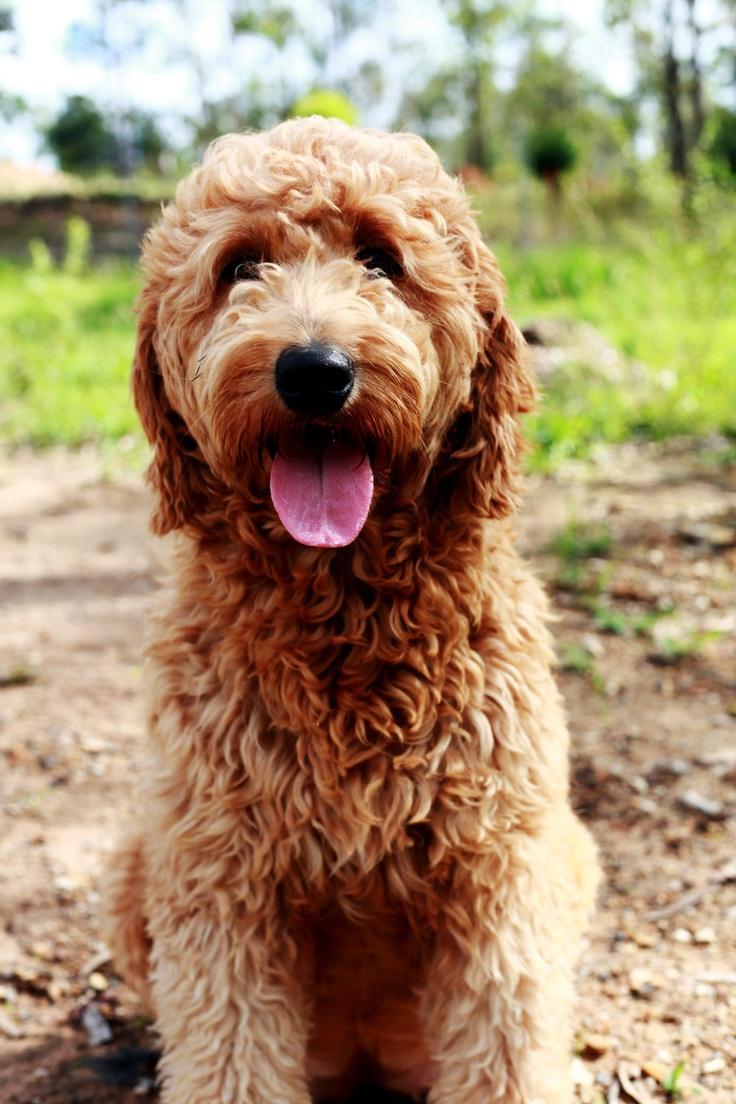 Popular Doodle Chubby Adorable Dog - a65f15986b5a3953138da529adef5b77--poodle-mix-goldendoodle  Snapshot_422758  .jpg