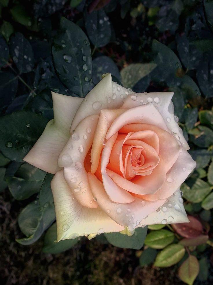 роза монро каталог - 6