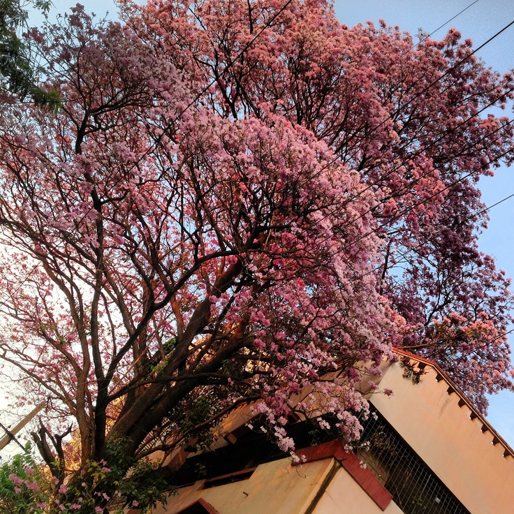 Pink tabebuia in bloom