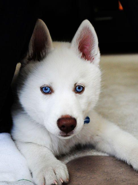 Baby Blue, Pretty Eye, Beautiful Animal, Siberian Husky, Puppies Dogs Eye, White Husky, Blue Eyes, Beautiful Eye, Adorable Animal