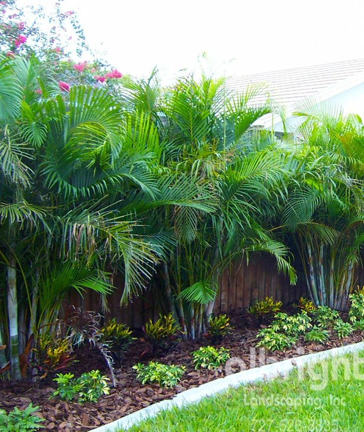Areca Palm Row Love the mulch idea too