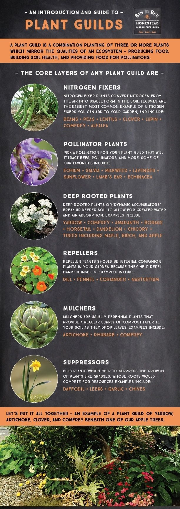 Plant Guilds (ways to combine plant[ings] that maximize growth and soil health) Infographic. BONUS: guilds do well under trees.