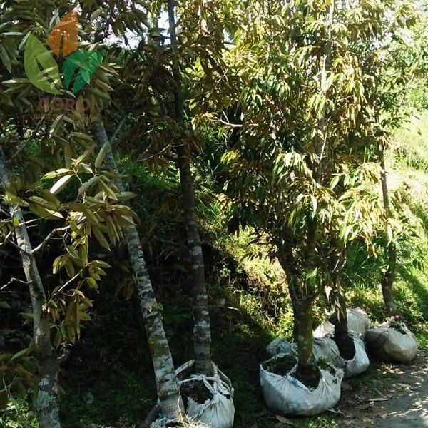 Kebun Durian Jombang