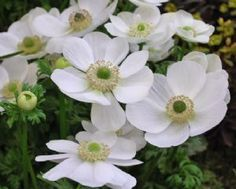 Anemone De Caen white bulbs