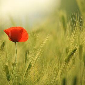 Poppy & Barley