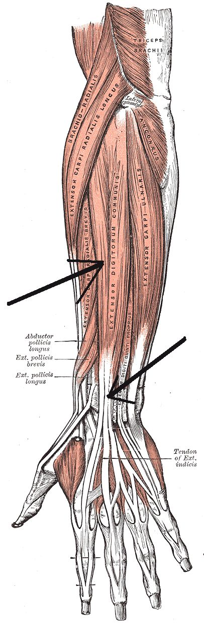 17 best images about all about anatomy on pinterest | interesting, Muscles