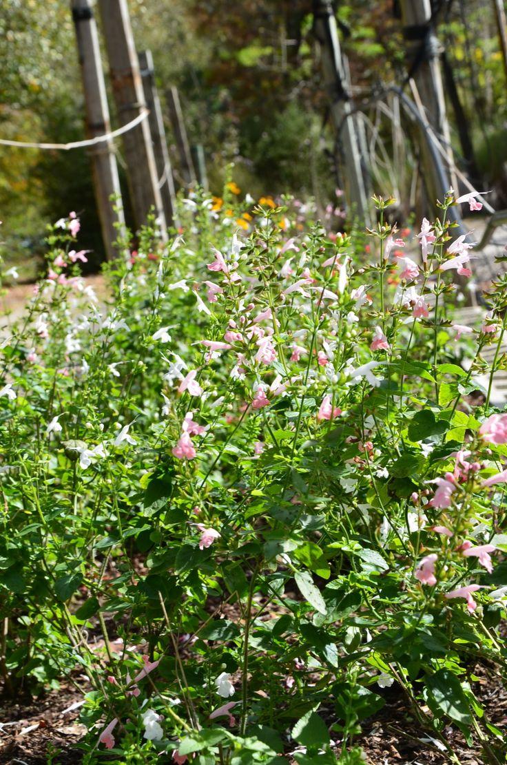 Tropical Sage Wildflower Bed Florida Native Wildflower