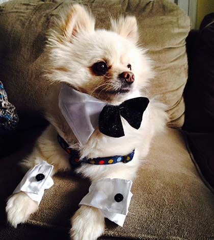 A Pomeranian Rescue Story: Francis – A Puppy Mill Tale to Tell - Where Mommies of the Pomeranian Dog Breed can gather, socialize and find tips on Treats, Toys and Pomeranian Parenting