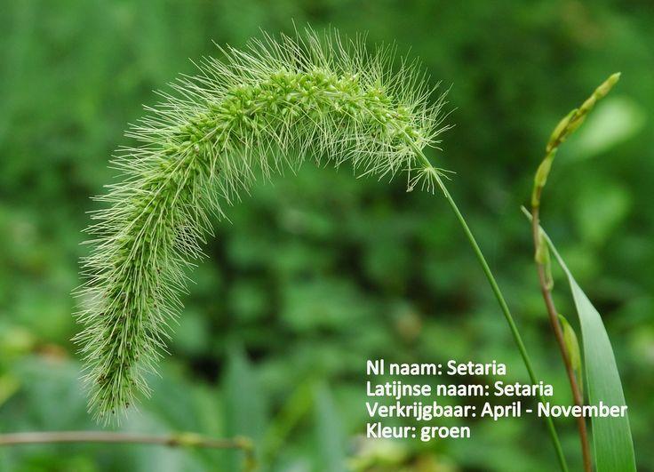Setaria